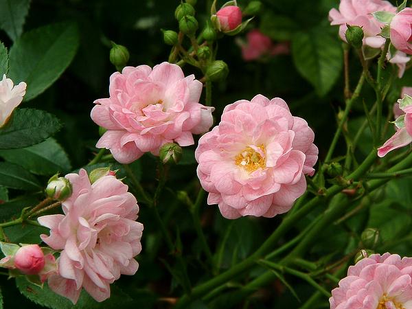 Rosa 'The Fairy' 3