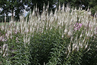 Veronicastrum virginiacum 'Album'