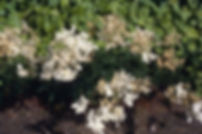 Filipendula ulmaria 'Plena'