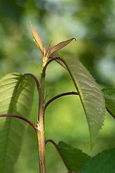 Prunus avium 'Udense Spaanse'