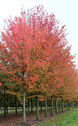 Acer freemani 'Autumn Blaze' (Jeffersred)
