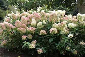 Hydrangea paniculata 'Kyushu' (stam)