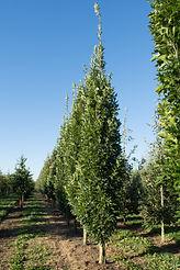 Quercus palustris 'Green Pillar' (Pringreen)