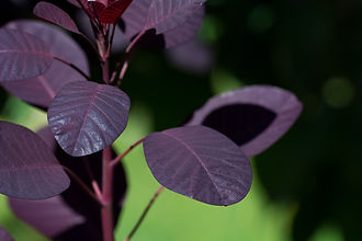 Cotinus coggygria 'Royal Purple'