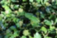 Hedera hibernica