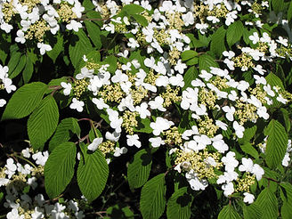 Viburnum plicatum 'Mariesii'