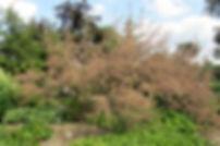 Tamarix ramosisima