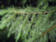 Cupressocyparis x leylandii