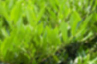 Prunus laurocerasus 'Otto Luyken'