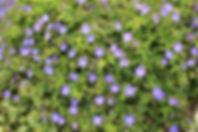 Geranium 'Rozanne' (=Gerwat)