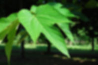 Morus alba 'Macrophylla'