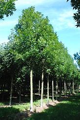 Fraxinus excelsior 'Altena'