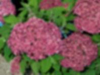 Hydrangea macrophylla 'Bella'