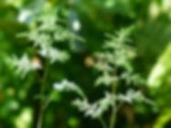 Aruncus dioicus