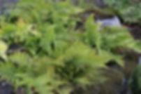 Dryopteris erythrosora