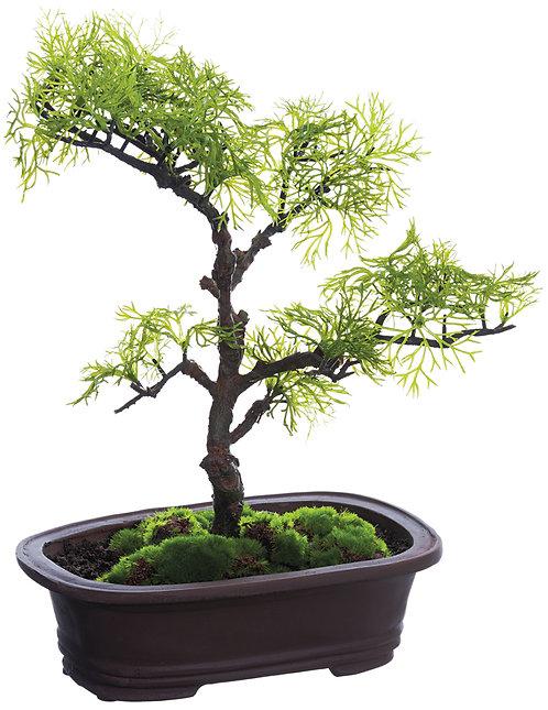 "13"" Cedar Bonsai in Clay Pot"