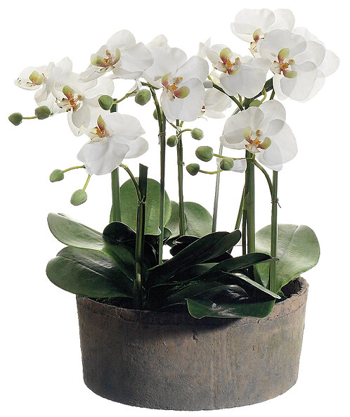 """19"""" Phalaenopsis Orchids in Clay Pot"""