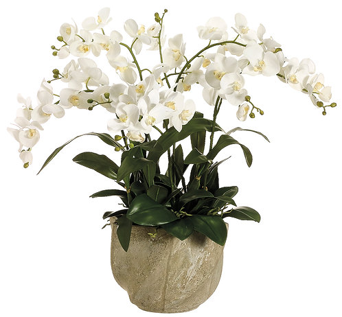Phalaenopsis Orchid in Star Pot