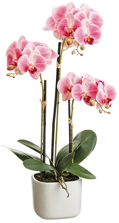 "25"" Two Tone Pink Phalaenopsis Orchids in Terra Cotta Vase - Monthly Rental"