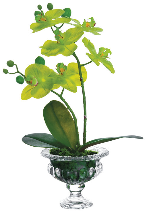 "14"" Green Phalaenopsis Orchids in Glass Vase - Monthly Rental (Qty 2)"