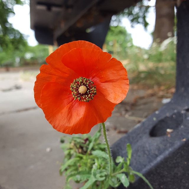 On My Walk With My 6week Old Darling Boy I Look After And We Came Across A Beautiful Poppy 🌺👼_●_○_