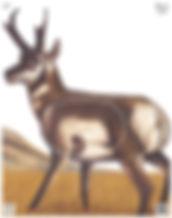 nfa-10_antelope_target_172x218.jpg
