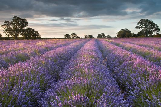 The Last of the Lavender Fields for the 'gram!