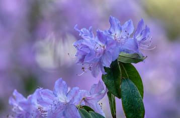 Lavender Rhodies