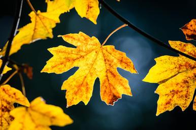 Oregon Big Leaf Maple