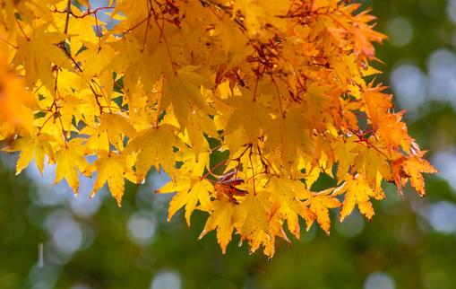 Oregon Maple