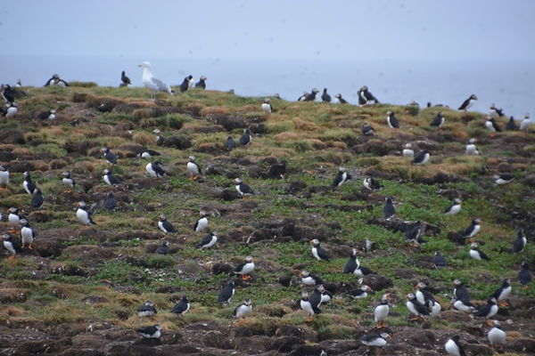 Puffins-nesting-on-bird-island-in-Ellist