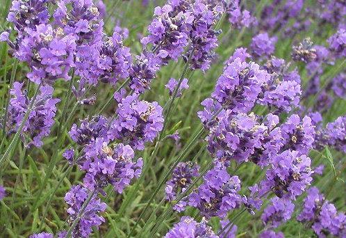 Lavender Vanilla Downy