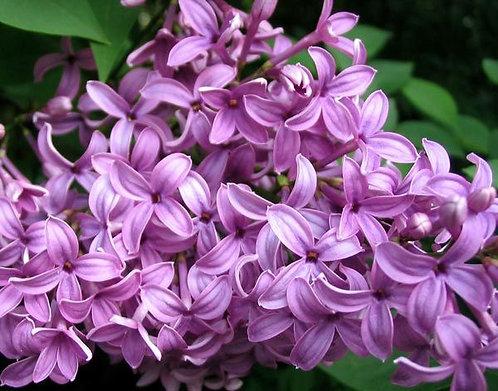 Lilac Tarts