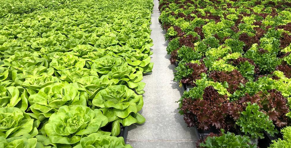 Living Lettuce 2 pak
