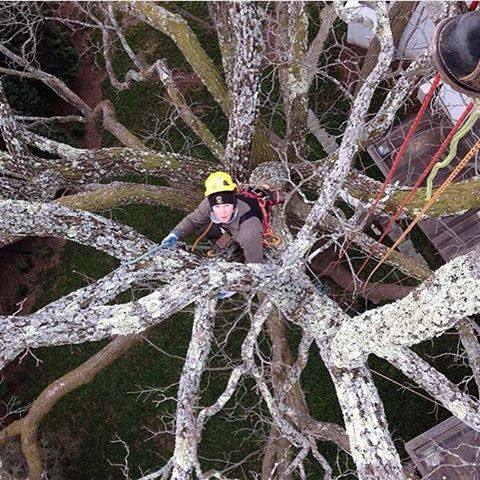 Arbor-Craft maintenance pruning a large Black Walnut.