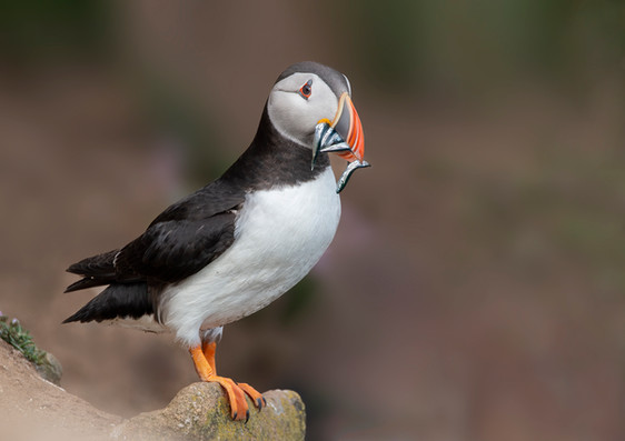 'Puffin with Fish' by Patricia Mackey - Highly Commended