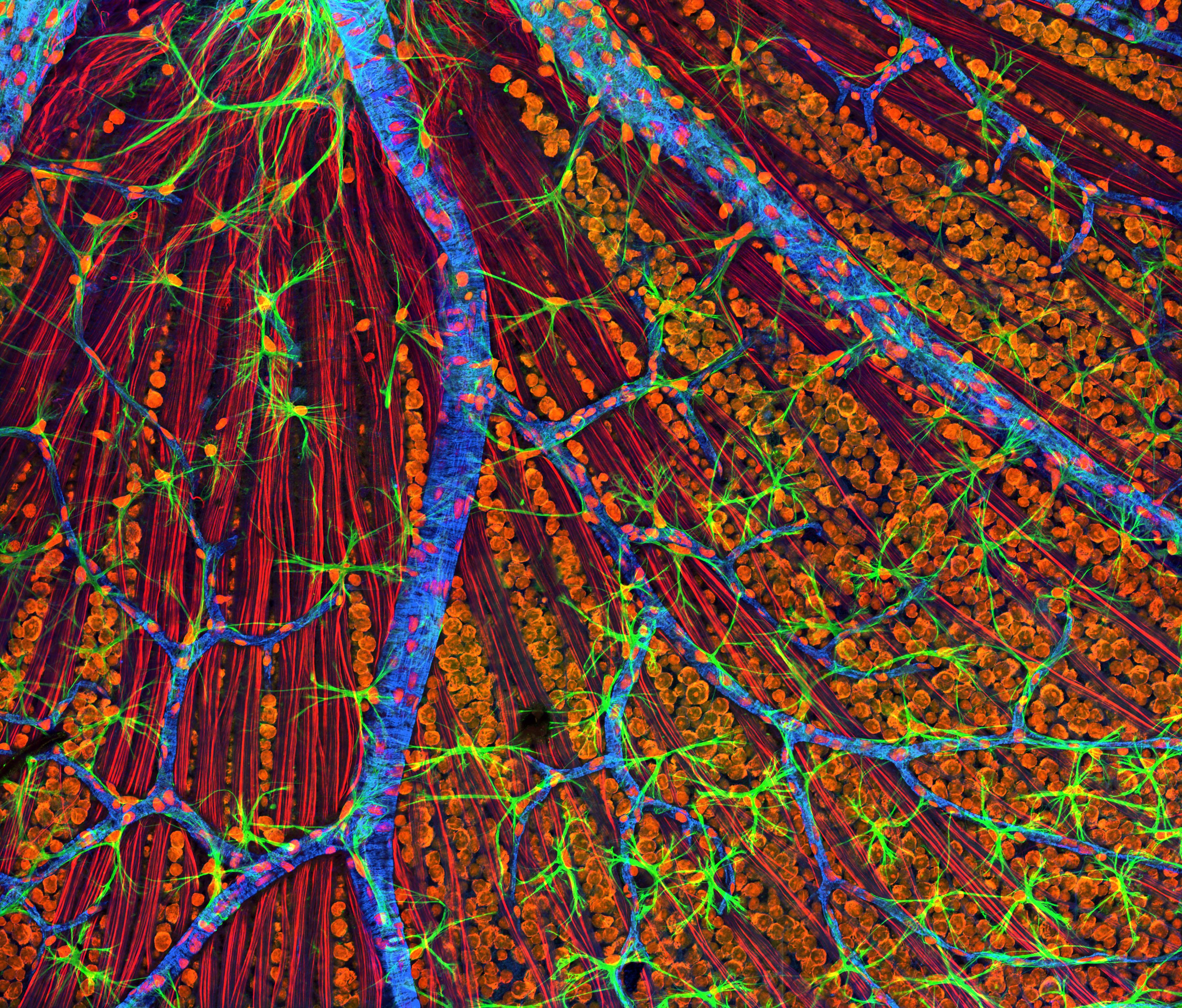 Mouse Retina