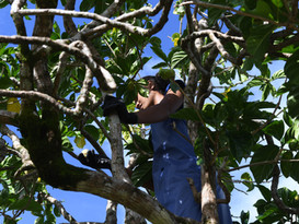 Nonu Samoa picking fruit