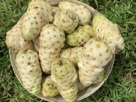 Nonu Samoa Noni Fruit