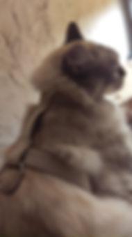harnais  pour chat et chien sur mesure