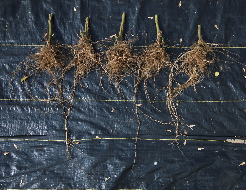Roots of the non-grafted Mosvich tomatoes.