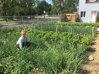harvesting vegetables from backyard garden