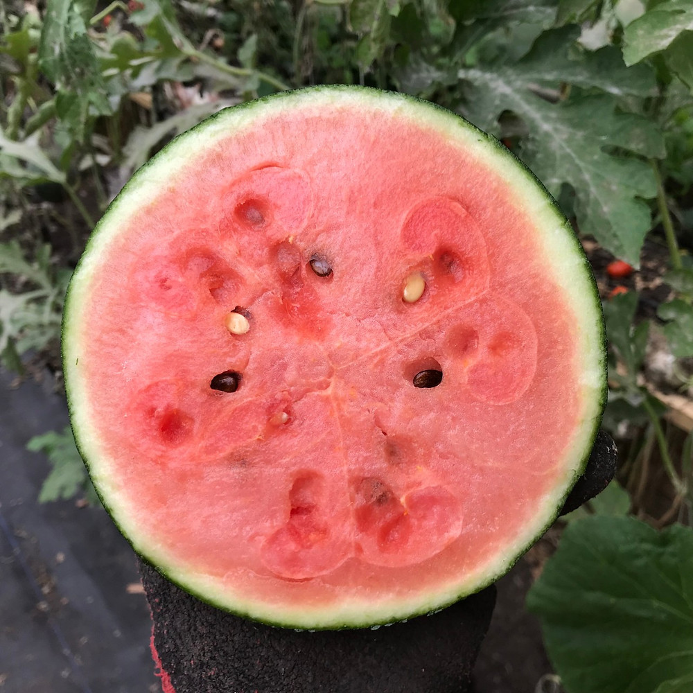 Watermelon harvested from high tunnel