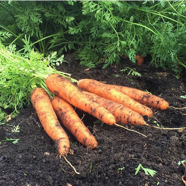 Carrots harvested from vegetable garden