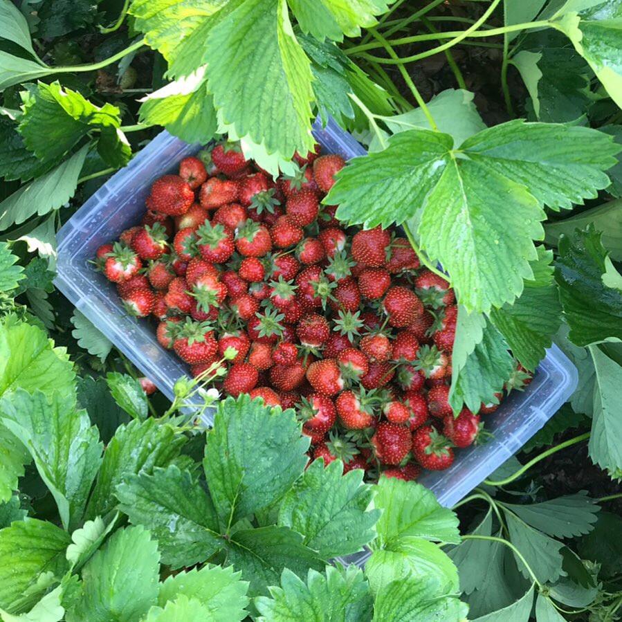 Strawberry harvest in the vegetable garden.