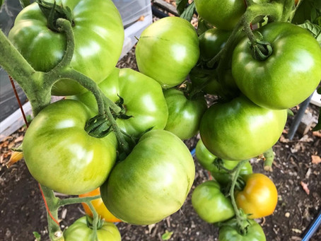 Grafted Tomatoes Prove Their Worth