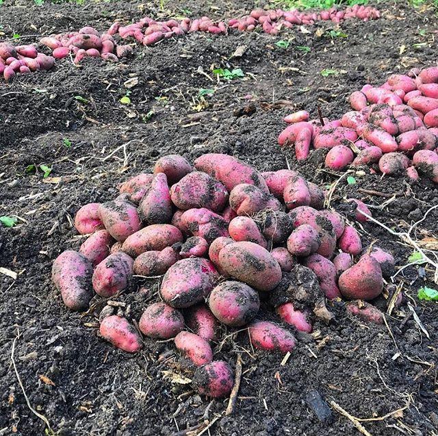 Potatoes harvested from vegetable garden