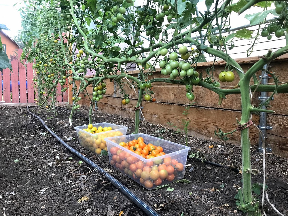 Tomatoes on lower and lean trellis.