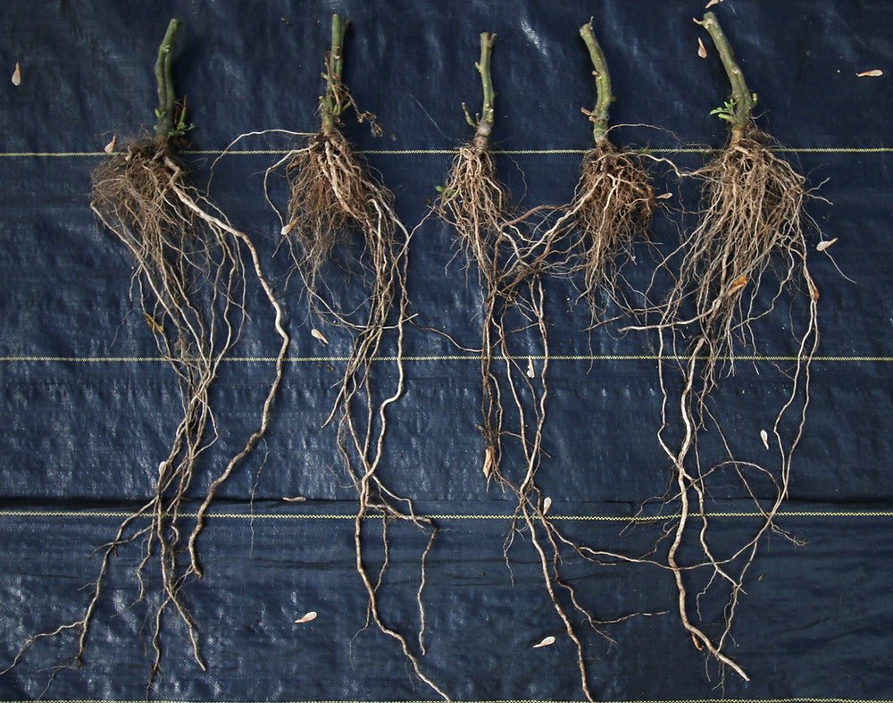 Roots of the grafted Mosvich tomatoes.