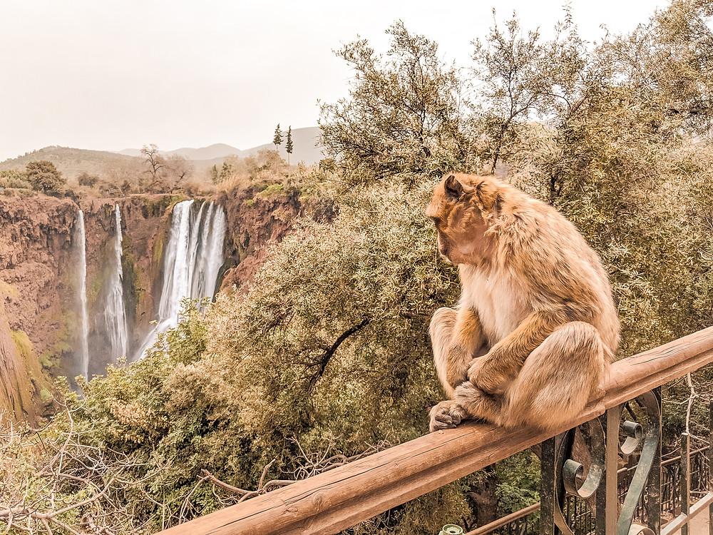 Monkey at Ouzoud Waterfalls